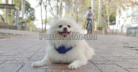 lovely pomeranian dog at outdoor