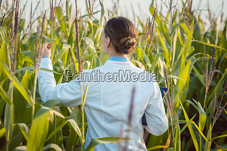scientist in corn field testing a