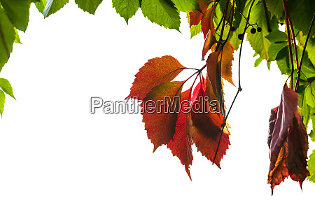 frame from natural autumn leaves isolated