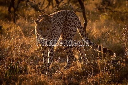 backlit cheetah turning towards camera at