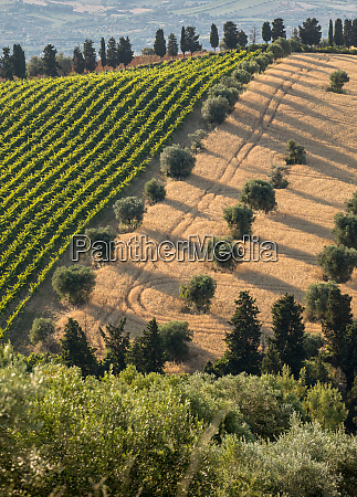 panoramic view of olive groves vineyards