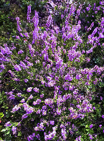 calluna vulgaris known as common heather
