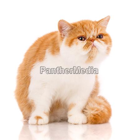 exotic shorthair cat sitting on