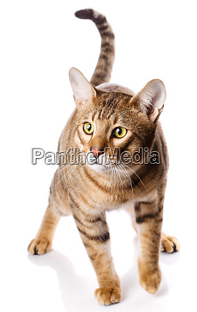 thoroughbred striped serengeti cat on the