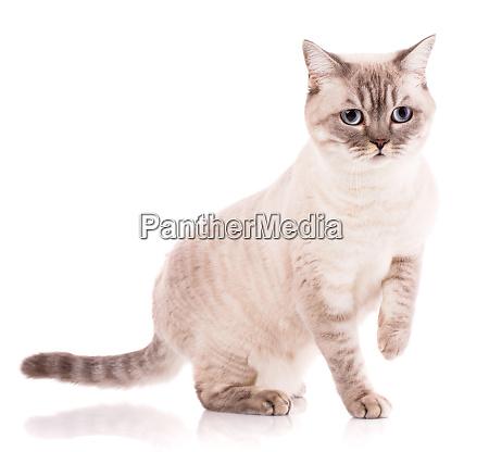 british straight bicolor stripes cat isolated