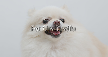 white pomeranian dog getting angry