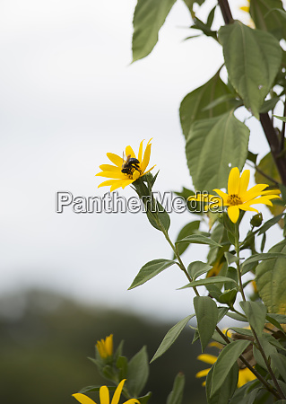carpenter bee on sunflower