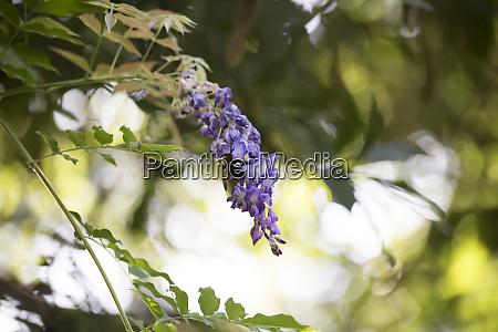 carpenter bee hovering around a purple