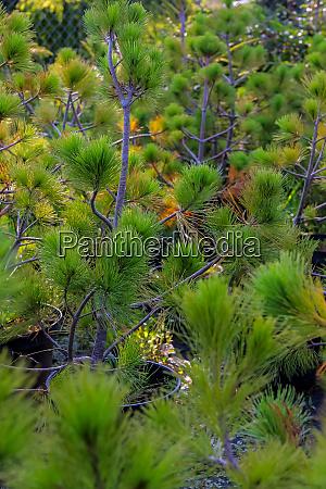 spruce tree plants