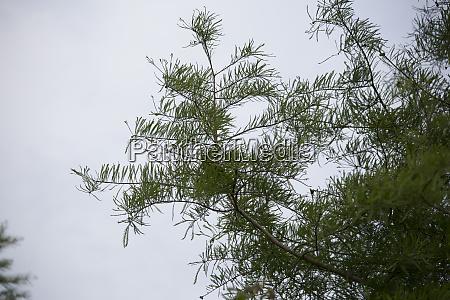 cypress tree in fall