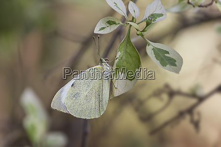 white butterfly european large cabbage