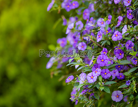 blooming tree blue potato bush