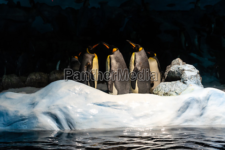 a group of emperor penguins aptenodytes