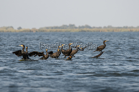 great cormorants phalacrocorax carbo in the