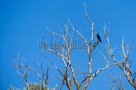 great cormorant phalacrocorax carbo perched in