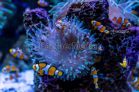 tropical fish clownfish amphiprioninae among corals