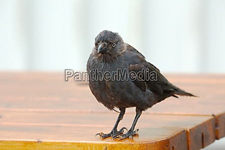 young crow on a table