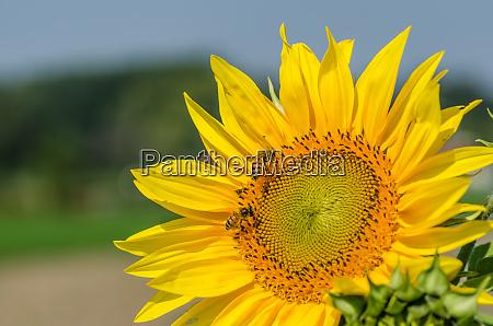 sunflower in summer field