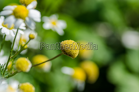 chamomile flowers in nature