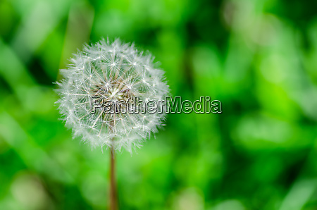 dandelion with green