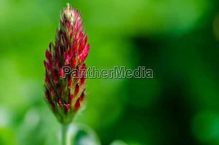 red clover with green