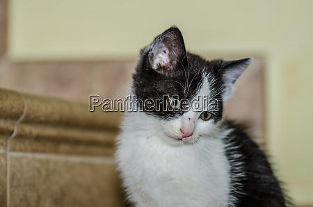 little black white cat