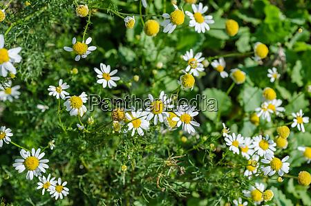 many chamomile flowers