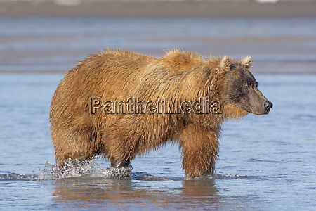 grizzly searching for salmon in a