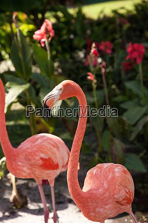 caribbean flamingo phoenicopterus ruber in a