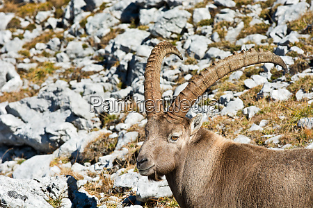 capricorn at the alps in autumn