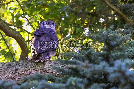verreauxs eagle owl bubo lacteus also