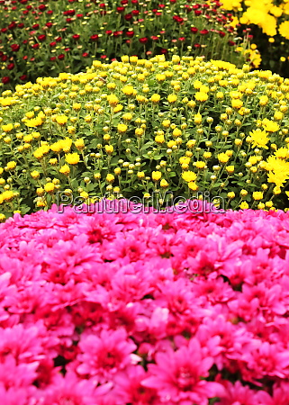 pink and yellow flowers on sale