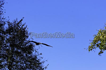 young bald eagle haliaeetus leucocephalus also