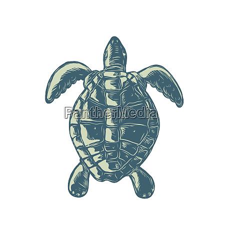 sea turtle top view scratchboard