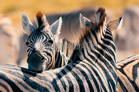 zebra in bush namibia africa wildlife