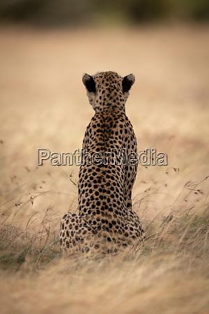cheetah sits in long grass facing