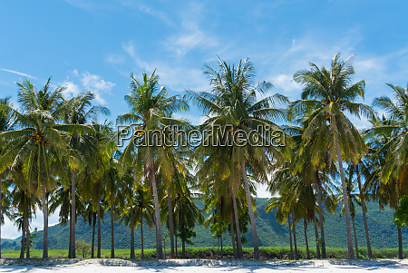 coconut tree and blue sky and