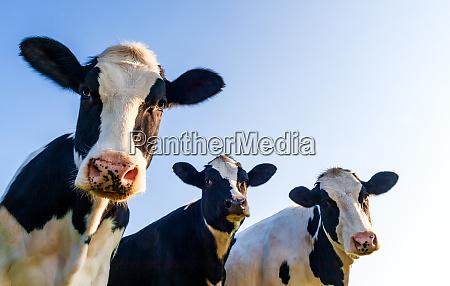 holstein cows over blue sky