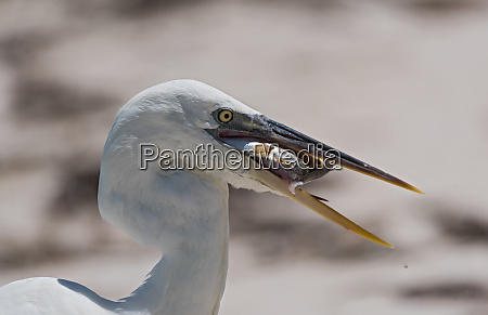 big heron with fish gets a