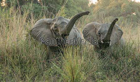 roaring jungle elephants in lower zambezi