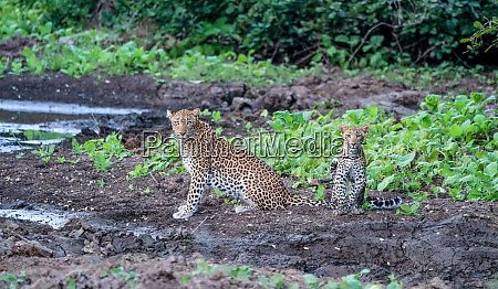 leopard mother with cub in lower