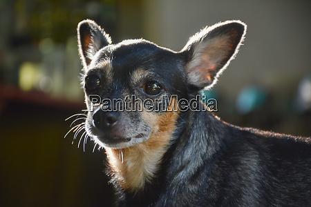 cute black and small chihuahua dog