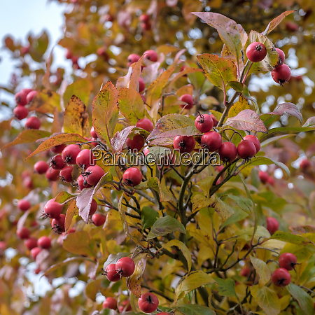 autumnal colours of the broad leaved