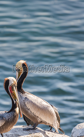 two brown pelicans perched on the