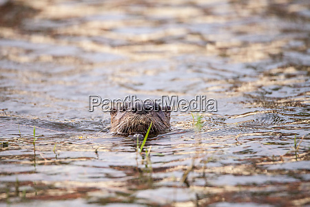juvenile river otter lontra canadensis in