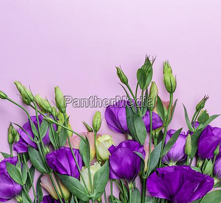 fresh blooming flowers eustoma lisianthus