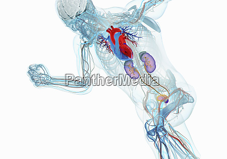 anatomical model of running man with