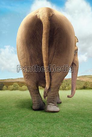 rear of walking elephant