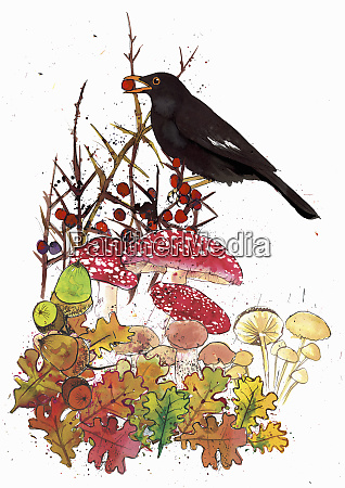 blackbird with red berry acorns and