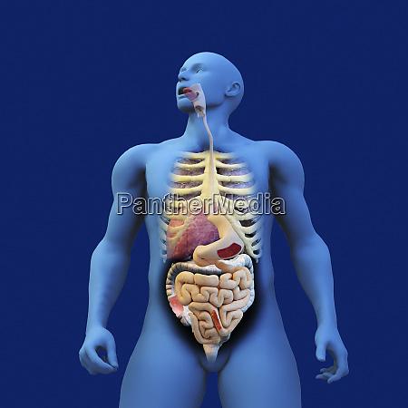 digestive system of anatomical model